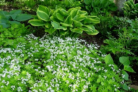 sweet woodruff2