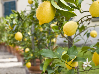 iStock-6465341 potted-lemon-trees s3x4 lead