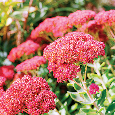 autumn-joy-sedum-1109-l